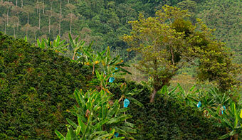 'La renovación de cafetales ha sido siempre una prioridad'.- MinAgricultura